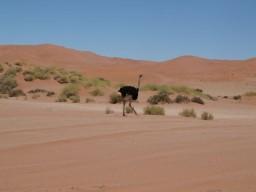 Wüstenstrauß