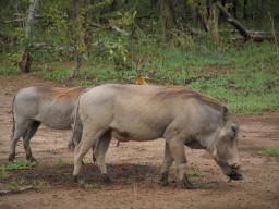 Wildschwein mit Reingungsvogel