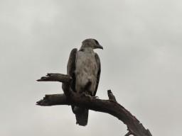 Sambesischer Adler