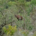 Ein seltenes Nashorn